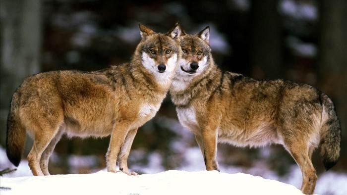 Loup sans frontière