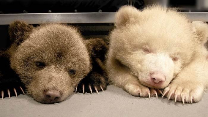 Poivre et Sel, deux oursons en Arctique