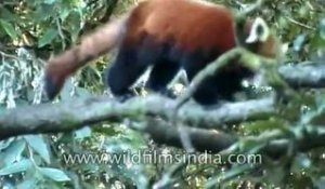 Red Panda in Eastern Himalaya