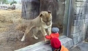 Bébé VS lion