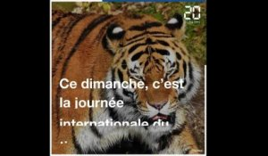 Journée internationale du tigre: SOS animal en danger !