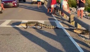 En Caroline du sud les alligators traversent au passage piéton