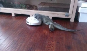 Iguane contre aspirateur roomba automatique !
