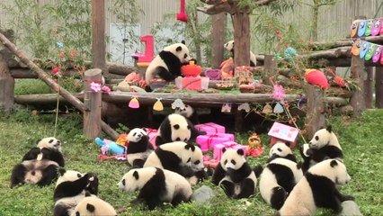 18 Bébés Pandas Dune Réserve Naturelle Chinoise Fêtent Leur Tout Premier Anniversaire