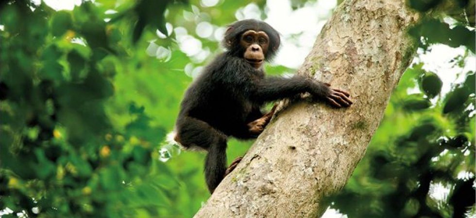 Chimpanzés : Le renouveau du documentaire animalier